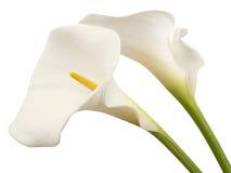 Duas flores brancas do calla Imagem de Stock