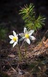Duas flores brancas do pulsatilla em um fundo escuro Fotografia de Stock