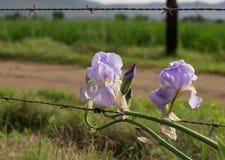 Duas flores da íris que inclinam-se sobre uma cerca de fio rústica Imagens de Stock Royalty Free