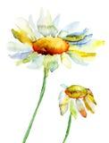 Flores da camomila Foto de Stock Royalty Free