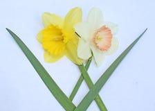 Duas flores da margarida com folhas e hastes que cruzam-se fotos de stock royalty free