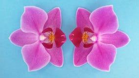 Duas flores da orquídea sobre o fundo azul Flor bonita Sobre o azul fotografia de stock royalty free