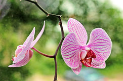 Duas flores das orquídeas Foto de Stock