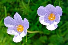 Duas flores de um açafrão de florescência do outono Fotos de Stock Royalty Free