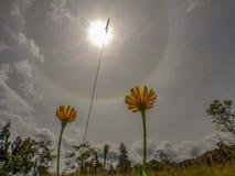 Duas flores do dente-de-leão contra um halo solar fotografia de stock