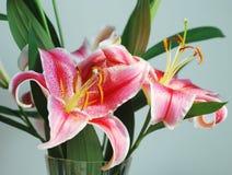 Duas flores do lírio com folhas Imagens de Stock Royalty Free