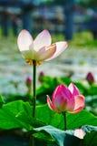 Duas flores dos lótus Fotografia de Stock Royalty Free