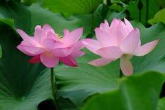 Duas flores dos lótus Fotografia de Stock