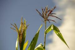Duas flores e folhas do milho imagem de stock royalty free