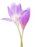 Duas flores lilás do açafrão isoladas no branco Foto de Stock