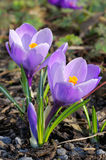 Duas flores roxas do açafrão Fotografia de Stock
