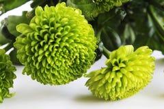 Duas flores verdes bonitas florescem fundo fotos de stock