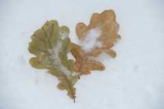 Duas folhas amarelas e verdes na neve no inverno Foto de Stock Royalty Free