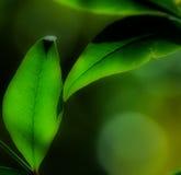 Duas folhas borradas sonhadoras Imagem de Stock Royalty Free