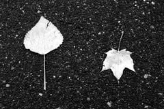 Duas folhas caídas na estrada asfaltada molhada imagem de stock