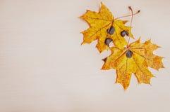 Duas folhas de bordo amarelas do outono Fotos de Stock
