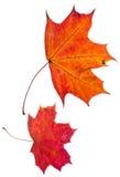 Duas folhas de plátano do vermelho do outono Fotografia de Stock Royalty Free