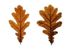 Duas folhas do carvalho isoladas no branco Fotos de Stock Royalty Free