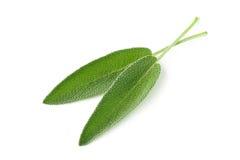 Duas folhas orgânicas colhidas frescas do sábio sobre o branco Imagem de Stock Royalty Free