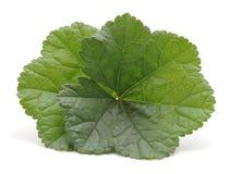 Duas folhas verdes foto de stock royalty free