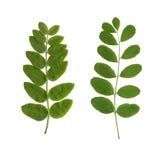 Duas folhas verdes Imagem de Stock Royalty Free