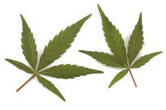 Duas folhas verdes do cânhamo Foto de Stock
