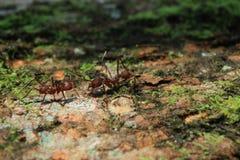 Duas formigas do cortador da folha do soldado que greating imagem de stock
