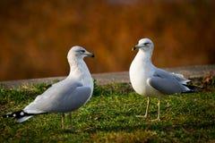 Duas gaivota comuns que enfrentam Eacth outro Foto de Stock Royalty Free