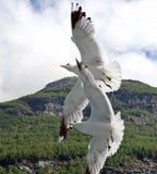 Duas gaivotas Imagem de Stock Royalty Free