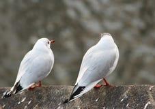 Duas gaivotas Fotografia de Stock Royalty Free