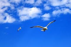 Duas gaivotas de voo Fotos de Stock