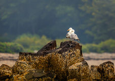 Duas gaivotas em rochas no porto Maine da barra imagens de stock