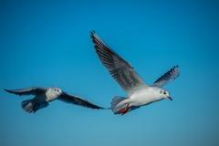 Duas gaivotas em seguido Imagens de Stock Royalty Free