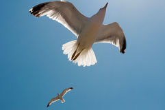 Duas gaivotas no vôo Fotografia de Stock
