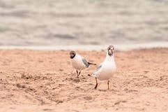 Duas gaivotas que andam na areia no beira-mar imagens de stock