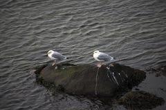 Duas gaivotas que estão em uma rocha Fotos de Stock Royalty Free