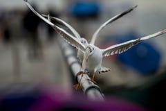 Duas gaivotas uma na frente de umas outras asas de dança abertas em uma cerca de alumínio com bokeh cor-de-rosa-roxo e azul foto de stock royalty free