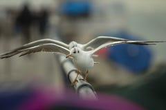 Duas gaivotas uma na frente de umas outras asas de dança abertas em uma cerca de alumínio com bokeh cor-de-rosa-roxo e azul fotos de stock royalty free