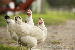 Duas galinhas fotografia de stock