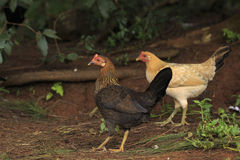 Duas galinhas foto de stock royalty free