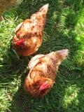 Duas galinhas Imagem de Stock Royalty Free