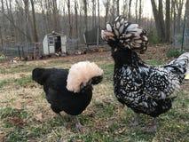 Duas galinhas Fotografia de Stock Royalty Free