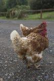 Duas galinhas em uma manhã fria em Escócia imagem de stock