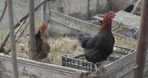 Duas galinhas na jarda Galinha preta e marrom na vila video estoque