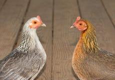Duas galinhas pequenas bonitas no ouro e na prata, cara a cara Imagens de Stock Royalty Free