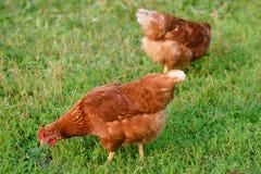 Duas galinhas vermelhas brilhantes que pastam imagem de stock royalty free