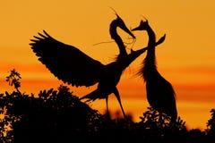Duas garças-reais Amor na árvore com por do sol alaranjado Cena dos animais selvagens da natureza Pássaro bonito no penhasco da r foto de stock royalty free