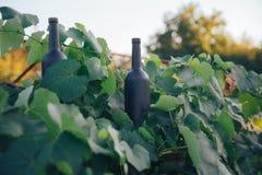 Duas garrafas do preto no fundo das folhas da uva, nas folhas, na rua vinhedo no campo naughty imagem de stock royalty free