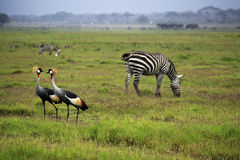 Duas Grey Crowned Crane e zebras fotos de stock royalty free