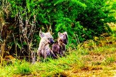 Duas hienas juvenis no parque nacional de Kruger Imagens de Stock